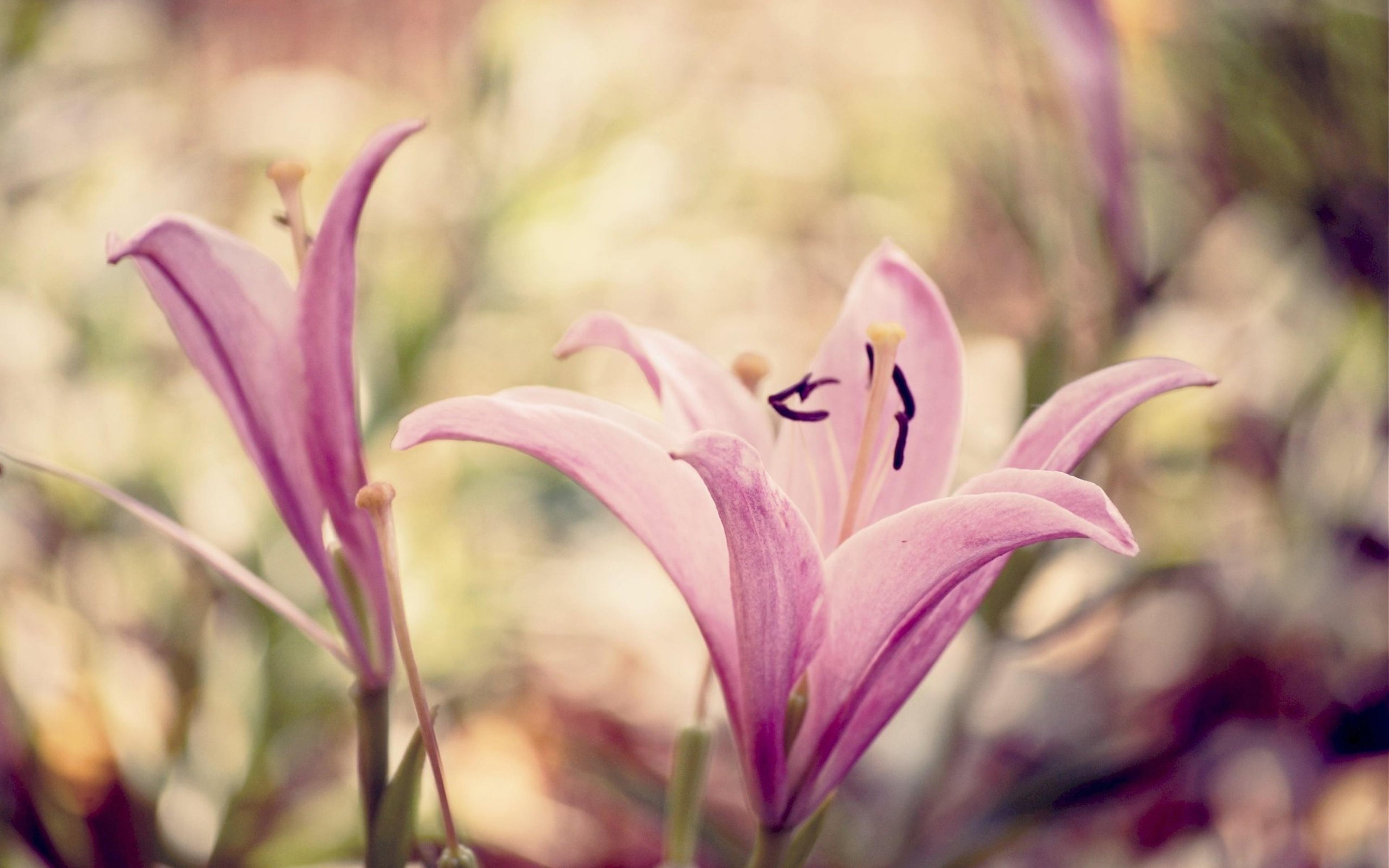 лилии цветы макро  № 2916849 бесплатно
