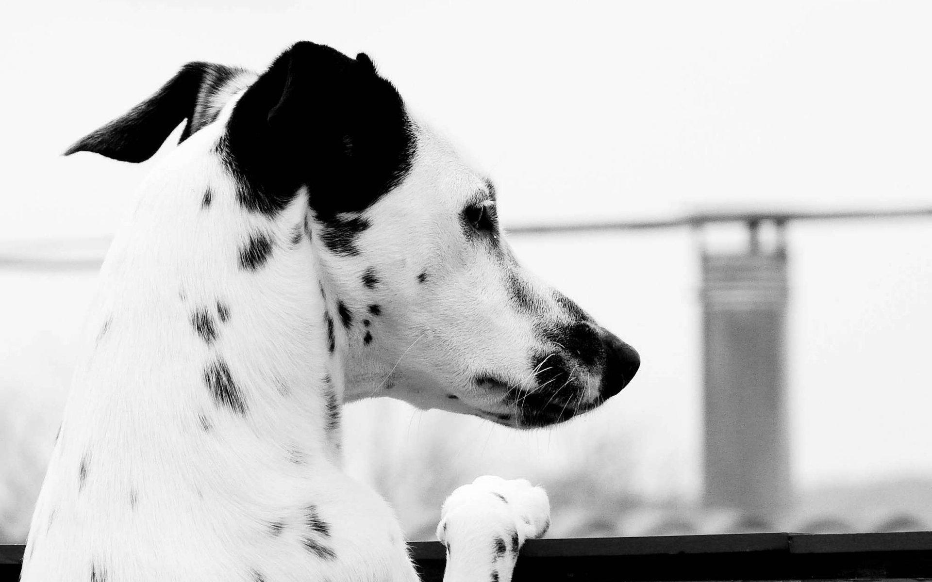 monochrome dalmatian dog wallpaper 50354