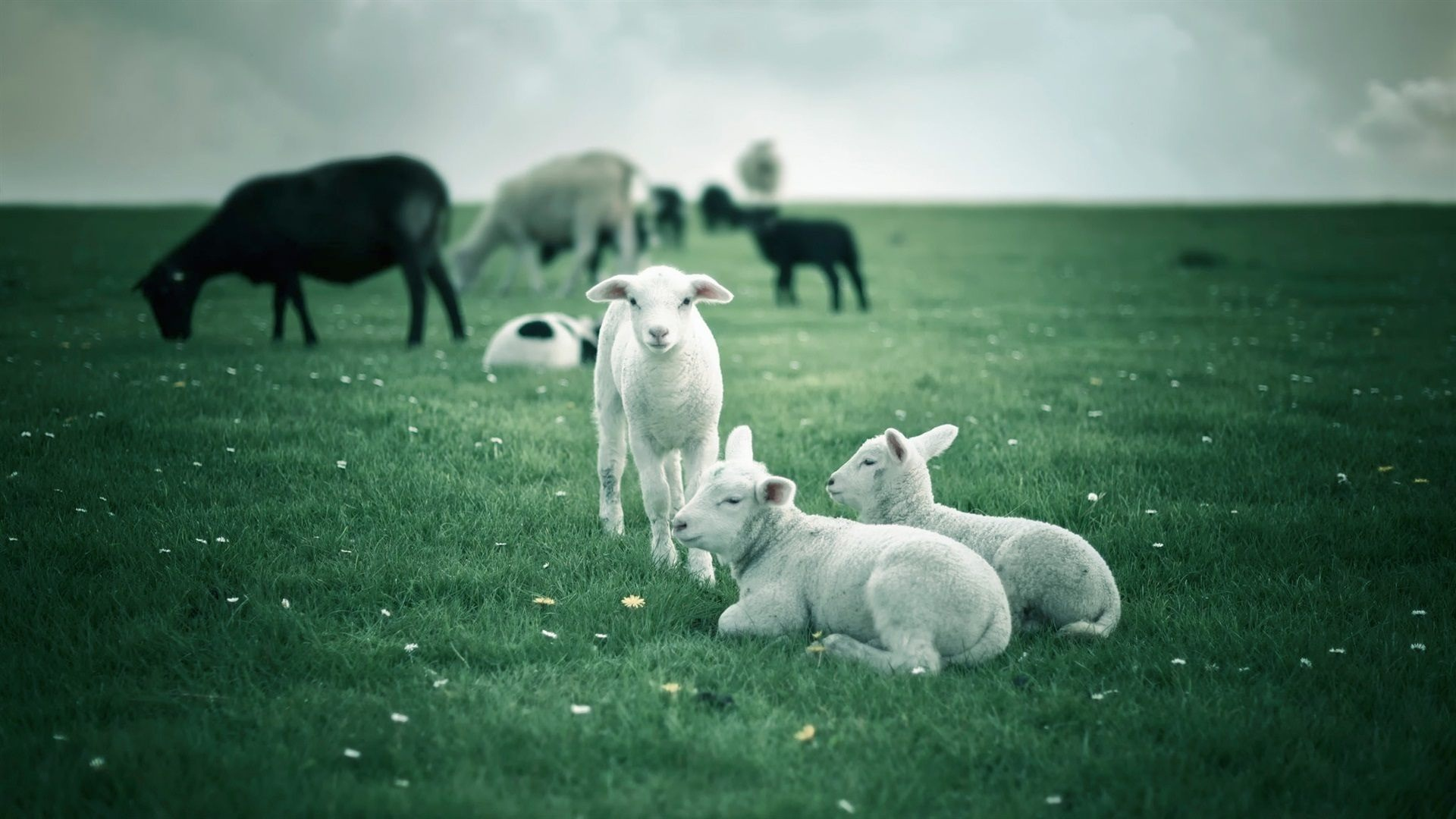 Sheep Herd Desktop Wallpaper 53717
