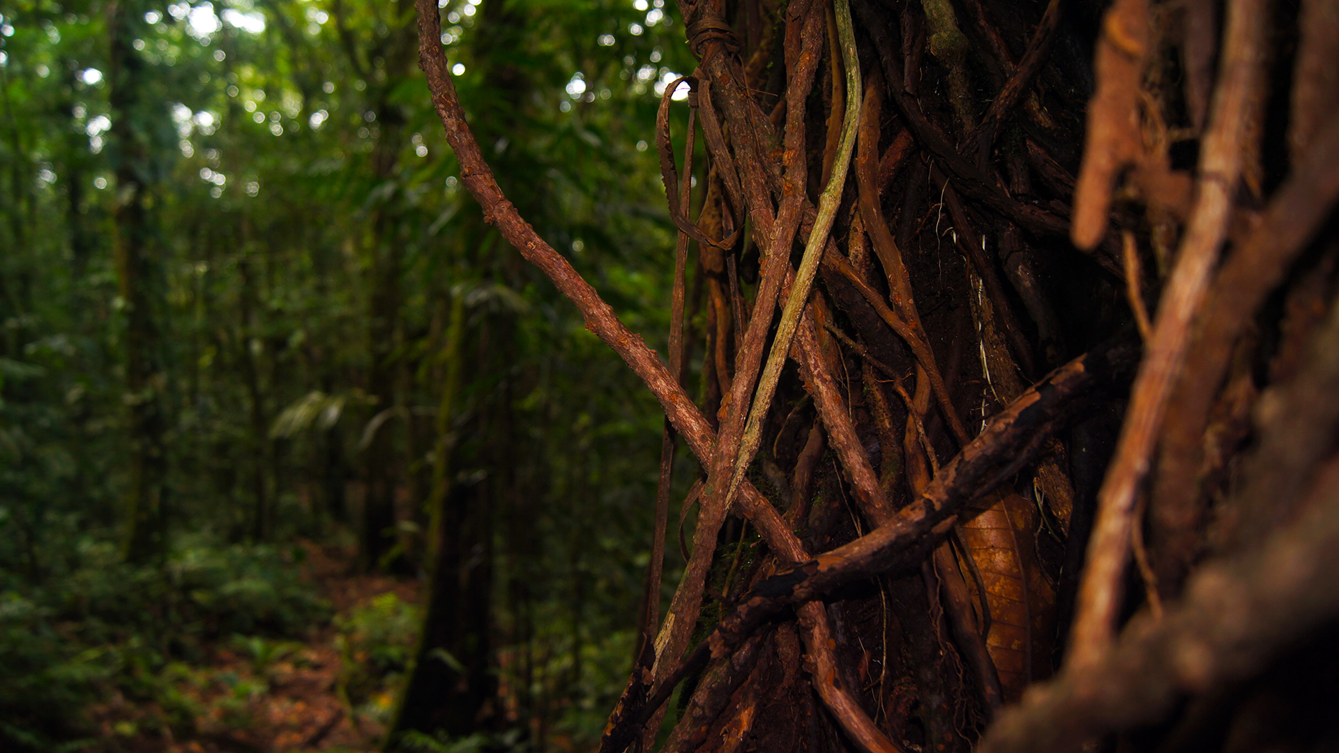 tenorio volcano rain forest tree 55587