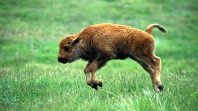 Baby Bison Wallpaper Background 53700