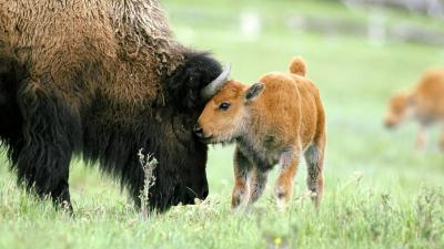 Bison Baby Wallpaper 53699