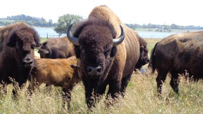 Bison Herd Desktop Wallpaper 53709