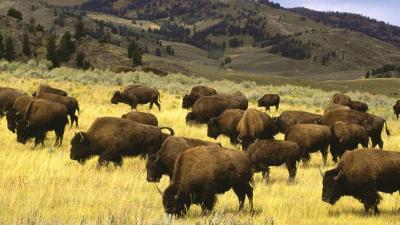 Bison Wallpaper 53705