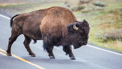 Bison Wallpaper Pictures 53698