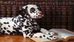 Dalmatian Dog Computer Wallpaper 50352