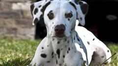 Dalmatian Dog Desktop Wallpaper 50345