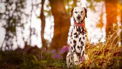 Dalmatian Dog Wallpaper HD 50347
