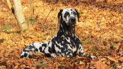 Dalmatian Dog Widescreen Wallpaper 50349