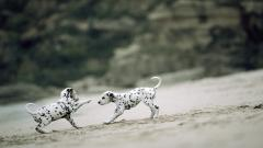 Dalmatian Dogs Wallpaper 50351