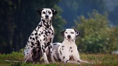 Dalmatian Dogs Wallpaper Background 50353