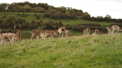 Deer Herd Wide Wallpaper 53711