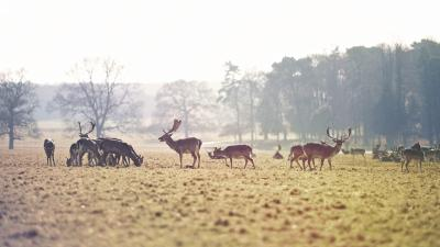 Deer Herd Widescreen Wallpaper 53710