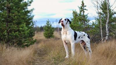 Great Dane Widescreen Wallpaper 53615