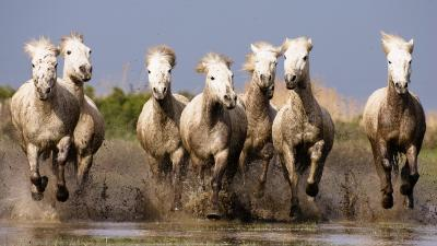 Horse Herd Wallpaper 53713