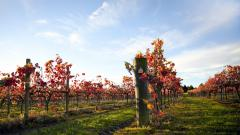 Vineyard Wallpaper Pictures 51264