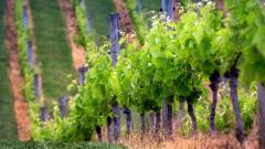 Vineyard Wide HD Wallpaper 51265