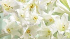 White Lily Flowers Desktop Wallpaper 50634