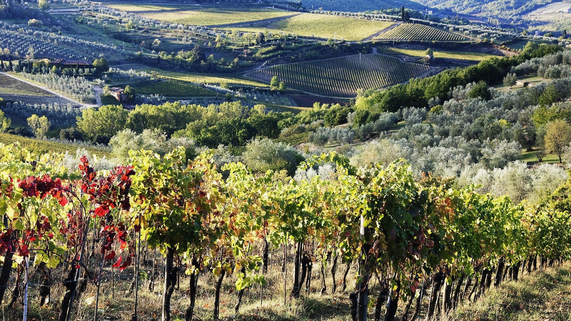vineyard desktop wallpaper pictures 51263