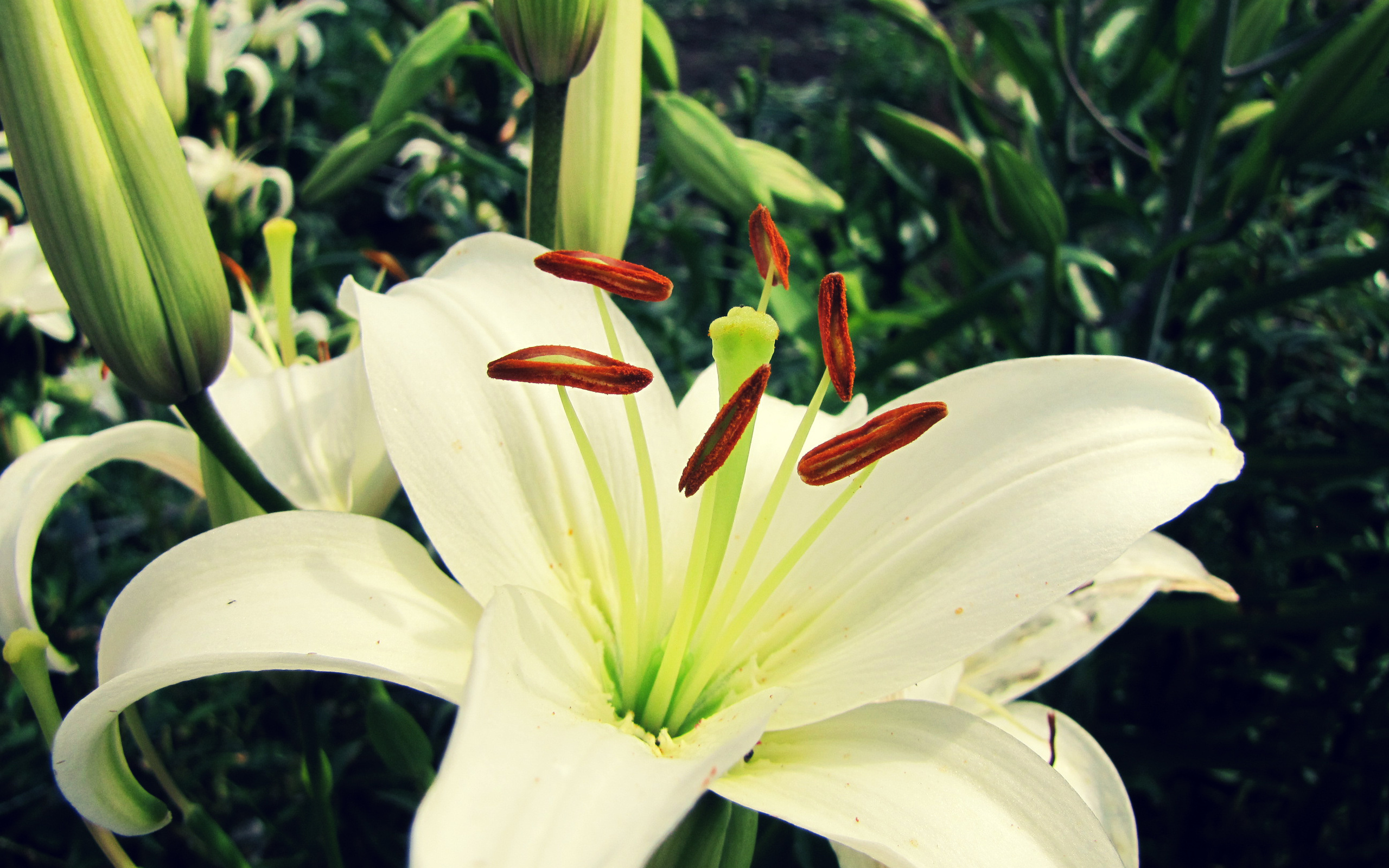 White Lily Flower Wallpaper 50637 2560x1600px