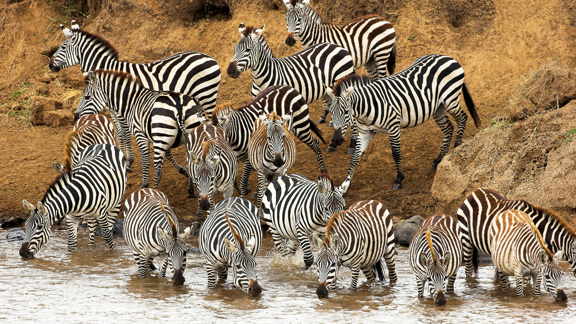 zebra herd wallpaper 53714