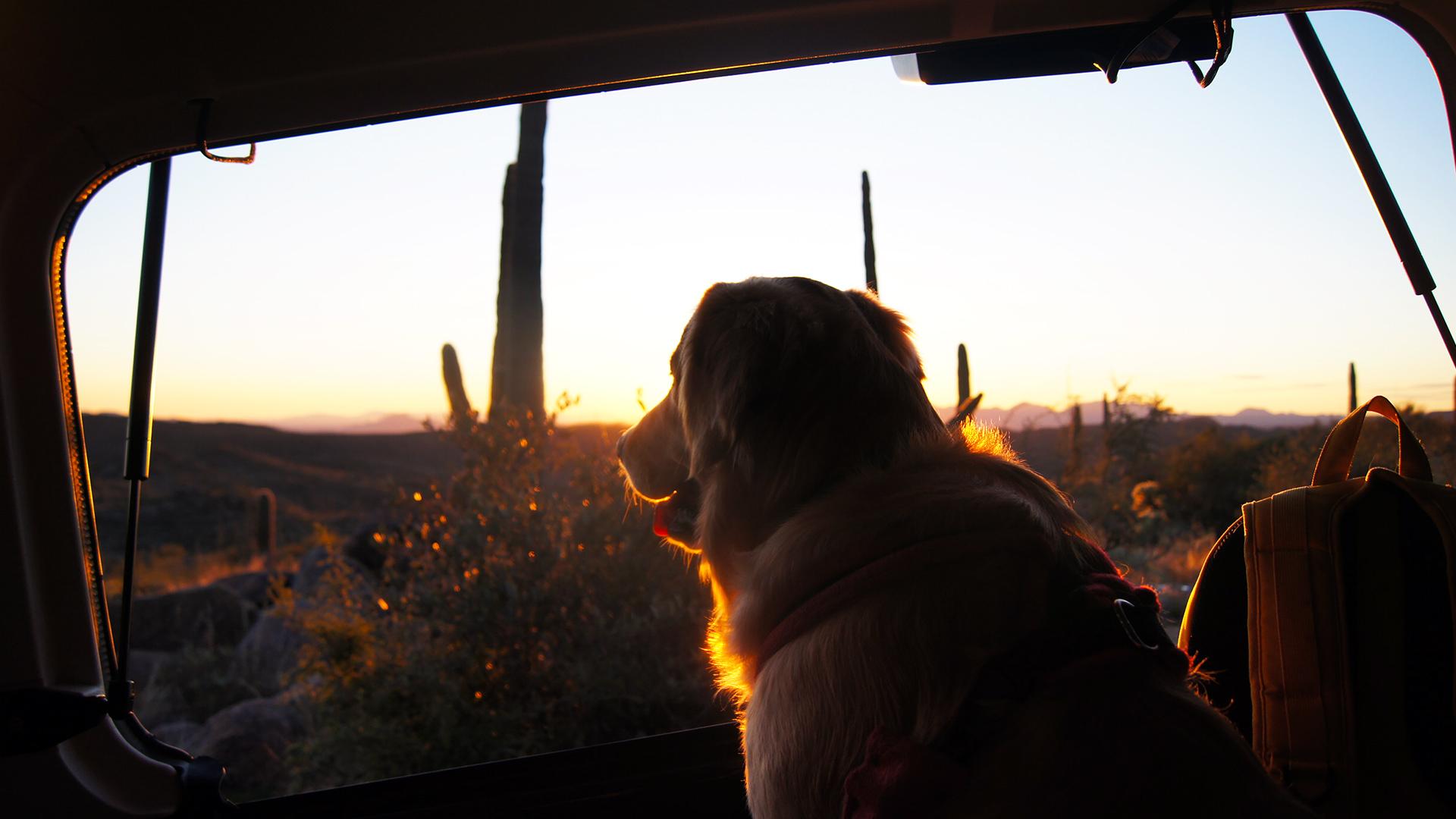 golden retriever arizona jeep sunset
