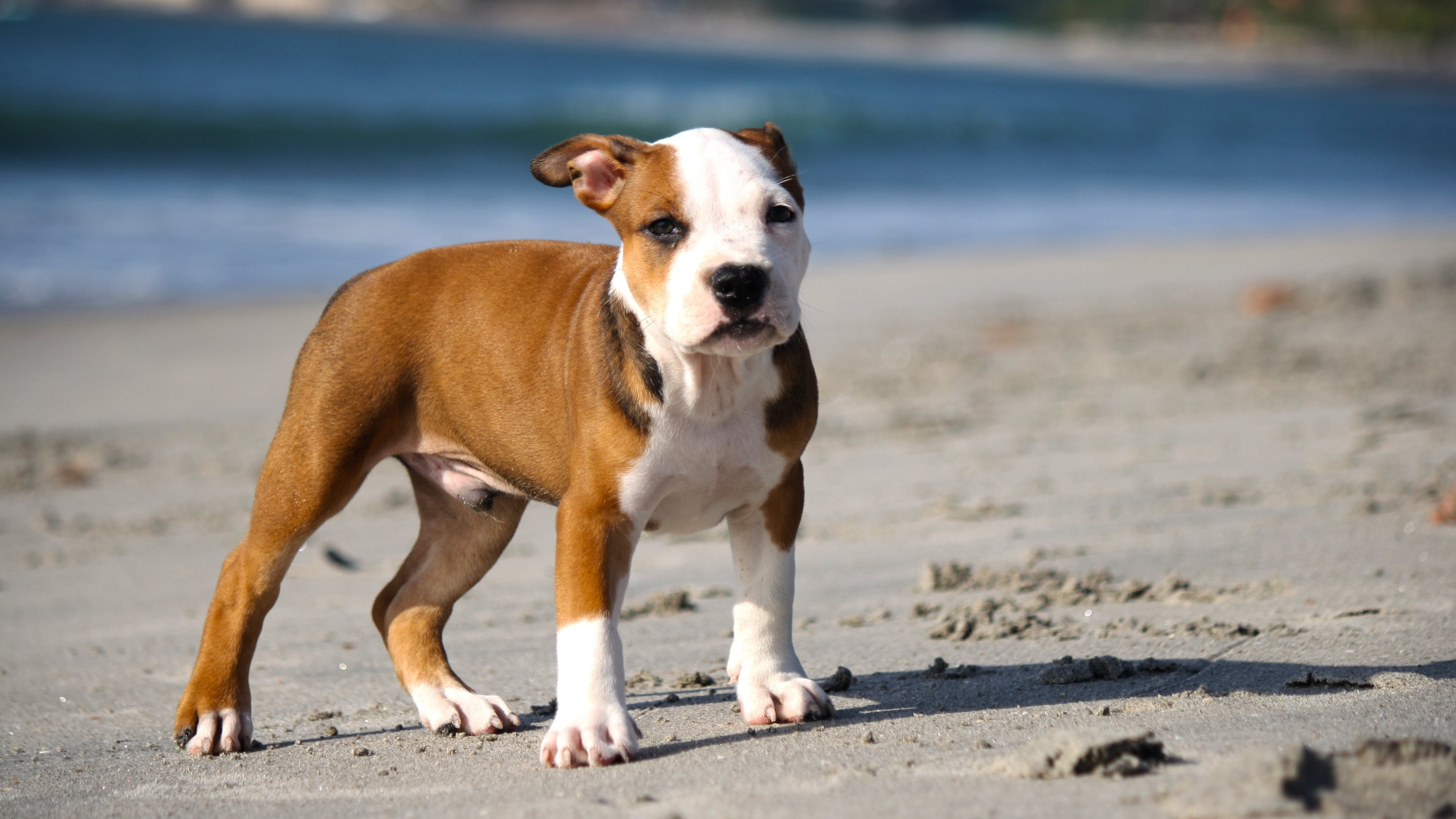 Pitbull Puppy Wide Wallpaper 49480