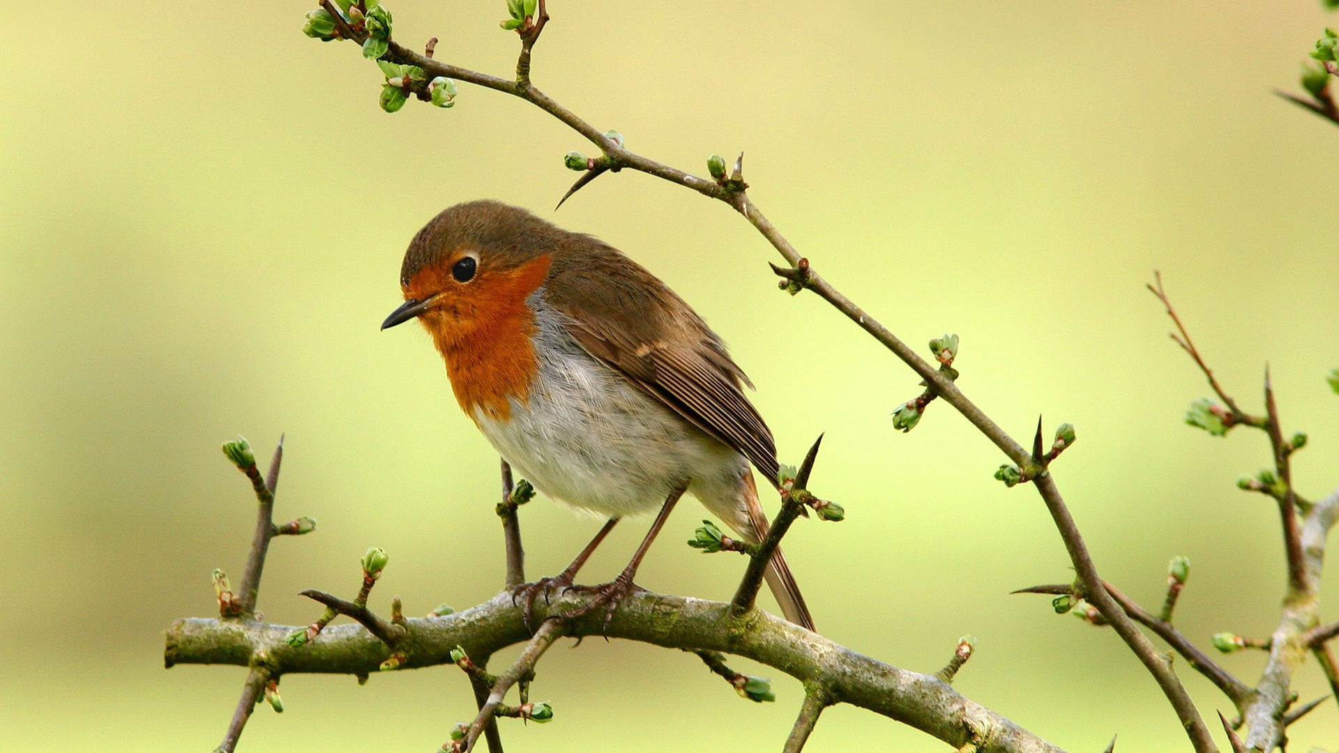 robin bird desktop wallpaper 49388 1920x1080px