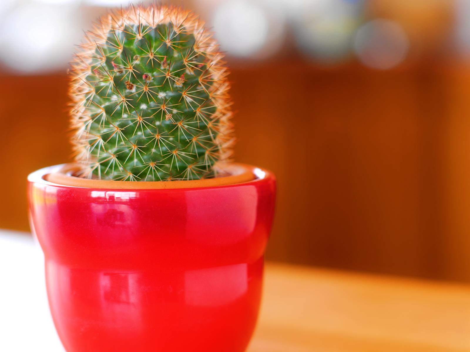 small cactus computer hd wallpaper 51663