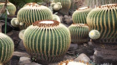 Cactus Desktop Wallpaper 51665