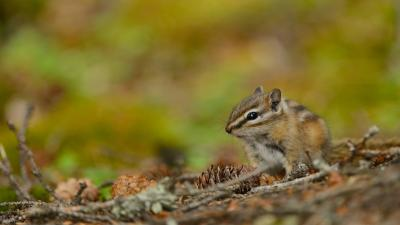 Chipmunk Animal Wallpaper 51730