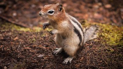 Chipmunk Animal Wallpaper Background 51731