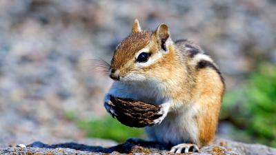 Chipmunk Animal Wide Wallpaper 51732