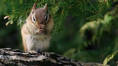 Chipmunk Animal Widescreen Wallpaper 51736
