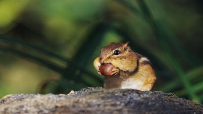 Chipmunk Widescreen Wallpaper 51729