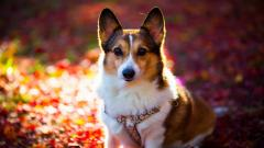 Corgi Dog Wallpaper 49391