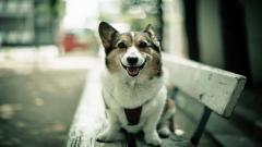 Corgi Dog Wallpaper 49394