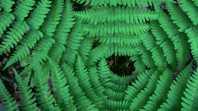 Fern Desktop Wallpaper 51846