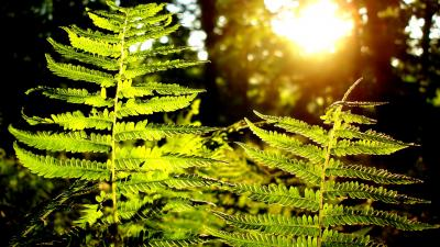 Fern Plant HD Wallpaper Background 51845