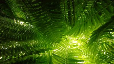 Fern Plants Widescreen Wallpaper 51848