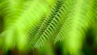 Fern Wide Wallpaper 51844