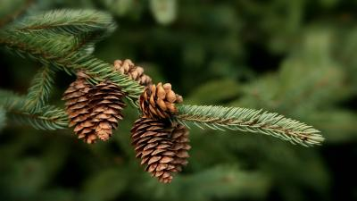 Pine Cone Nature HD Wallpaper 51742