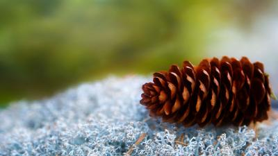 Pine Cone Wallpaper Background HD 51737
