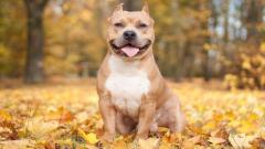 Pitbull Dog Desktop Wallpaper 49476