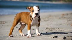 Pitbull Puppy Wide Wallpaper 49480