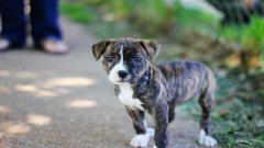 Pitbull Puppy Widescreen Wallpaper 49479