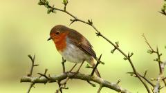 Robin Bird Desktop Wallpaper 49388