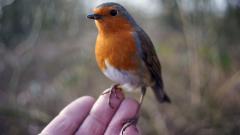 Robin Bird Widescreen Wallpaper 49389