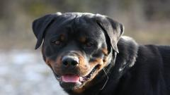 Rottweiler Dog Wide Wallpaper 49485