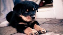 Rottweiler Puppy Desktop Wallpaper 49486